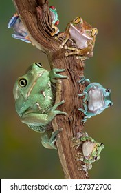 Many varieties of tree frogs are sitting together on a branch. From bottom left to bottom right - waxy monkey tree frog, red-eyed tree frog, big-eyed tree frog, whites tree frog, gray tree frog