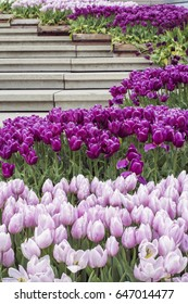 Many violet tulips around modern staircase