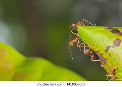 Many Weaver ant (Oecophylla smaragdina) or Green Ant major worker guarding the nest with green nature blurred background.