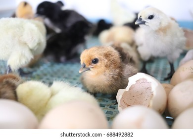 Many white and black chicks are born in a blue basket.