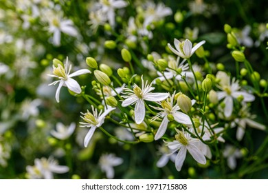 Many white blooms of Clematis fragrant virgin's bower in summer garden. White Clematis flammula fragrant flowers, close up. Summer nature background