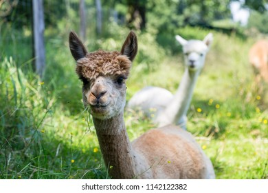 many white and brown alpaca on a natural meadow