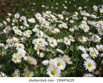 Many white Common Daisy flowerbed blooming in spring 2019