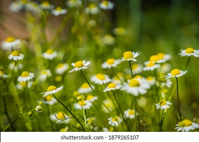 many white daisies grow in the field and only few of them are in focus,against a background of green grass