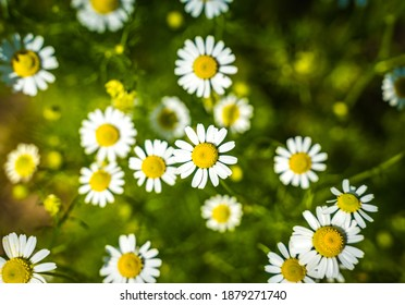 many white daisies grow in the field and only a few of them are in focus,against a background of green grass