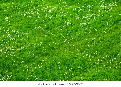 Many white daisies in top view of meadow. Top view of green grass with small white flowers background texture