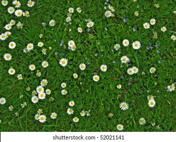 Many white daisies in top view of meadow, several  Bird's-eye Speedwell  also visible (Bellis perennis and Veronica chamaedrys)