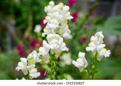 Many white dragon flowers or snapdragons or Antirrhinum in a sunny spring garden, beautiful outdoor floral background photographed with soft focus