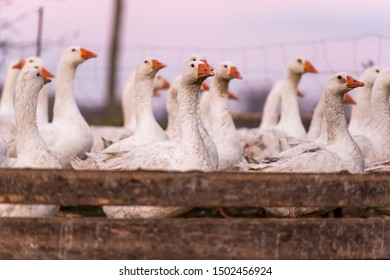 Many  white fattening geese on a meadow