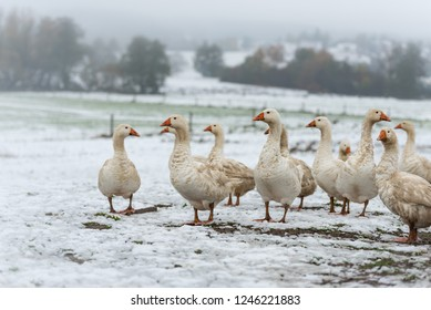 many white geese on a white meadow in winter at snow. Animals are fattened for Christmas roast