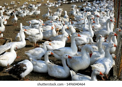 Many white geese with red beaks sitting together in a corral at the farm.