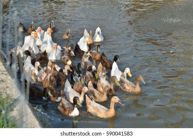 Many white and gray duck swimming at the pond