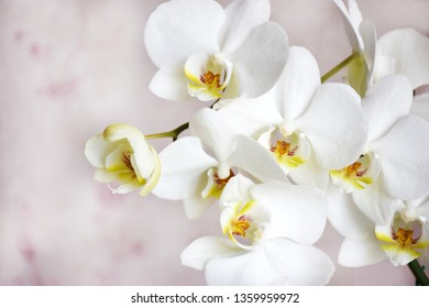 Many white orchids flowers with copy space on a gentle pink background on selective focus.