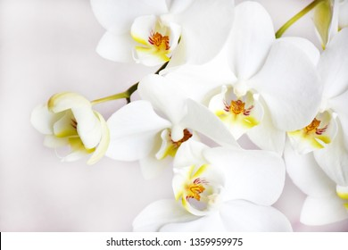 Many white orchids flowers on a gentle pink background on selective focus.
