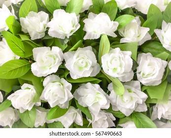 Many white rose flower for background