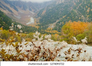 Many white small flowers are blooming with mountain and colored trees in autumn season at Kamikochi, Nagano Prefecture, Japan