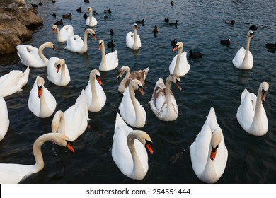 Many white swans and other birds in Drava river, Slovenia
