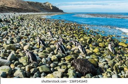 Many wild Magellanic penguins (Spheniscus Magellanicus) walking on a coast of Magdalena island, Chile