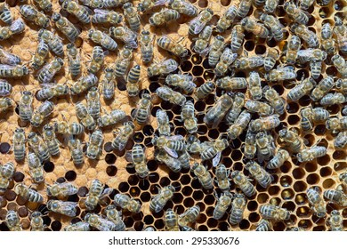 Many worker bees on the honeycomb at summertime