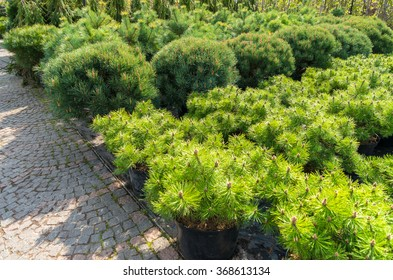 Many yang coniferous trees in garden store centre