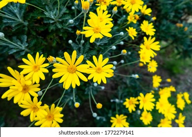 Many yellow daisies (Daisy Asteraceae) with green blurred background, blooming in autumn in Kenroku-en Garden in Kanazawa, Japan.