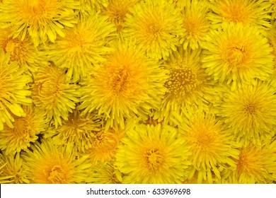 Many yellow dandelions