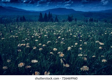 Many yellow flowers on a spring meadow in a moon light under the night sky.