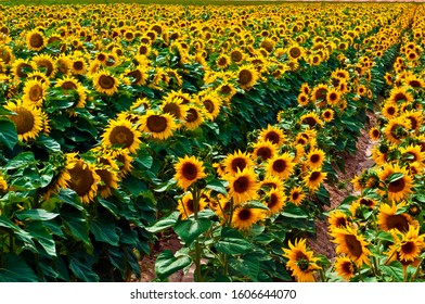Many yellow heads of ripe sunflowers in a farming filed all resting on a bed of green leaves in a agricultural farming field