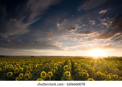 Many yellow heads of ripe sunflowers in a farming filed all resting on a bed of green leaves in an agricultural farming field under the sunset sky