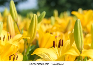 many yellow lily flower field