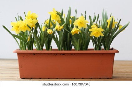 Many yellow spring flowers in a brown flower box on a balcony. White Background. These flowers are called daffodil, narcissus or easter lily flowers, typical decorations for early spring and Easter.