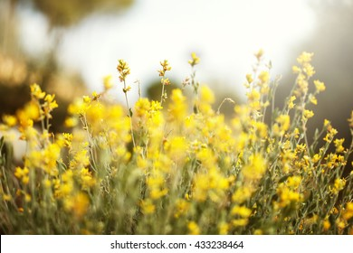 many yellow tall bright wild beautiful flowers and green grass on summer field background. Outdoor nature fresh morning photo