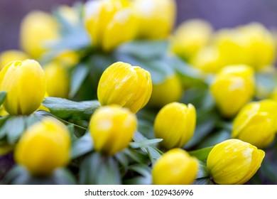 many yellow winterlings in a garden