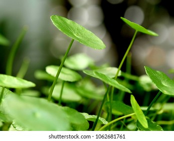 Manyflower marsh pennywort or dollarweed with nature bokeh background