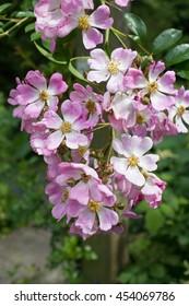 Many-flowered rose (Rosa multiflora ssp. adenochaeta) in pink, close-up