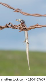 Many-lined Skink (Plestiodon multivirgatus) Impaled on Barbed Wire by a Loggerhead Shrike