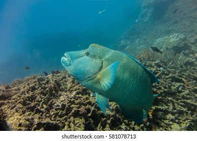 Maori (humphead) wrasse on the Great Barrier Reef.