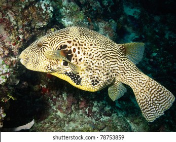 Map puffer fish in Maldives