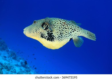 Map pufferfish (Arothron mappa) underwater in the tropical coral reef