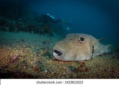 Map pufferfish rests a long coral reef