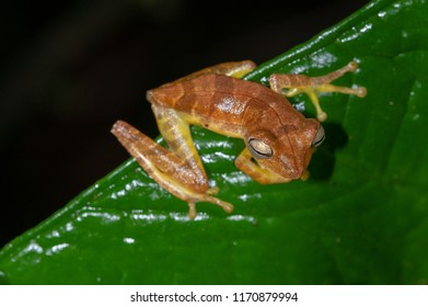 Map Tree Frog (Hypsiboas geographicus) in Manu National Park, Peru