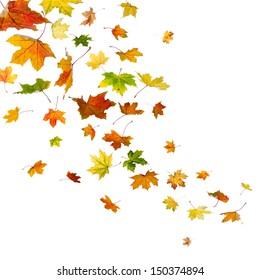 Maple autumn falling leaves, isolated on white background.