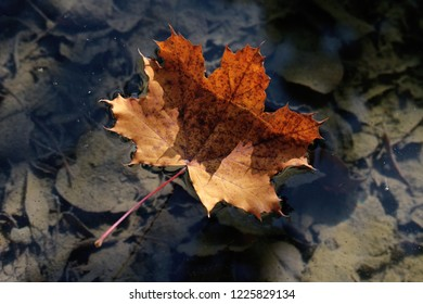 maple autumn leave in a lake