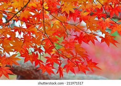 Maple in Autumn Season.
