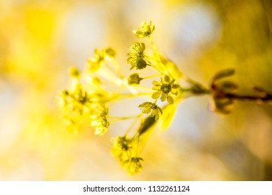 maple blossom in spring