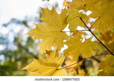 Maple branch with autumn yellow leaves