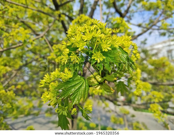 maple-branches-flowers-on-blooming-600w-