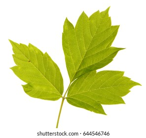 Maple branches with green leaves. Isolated on white background