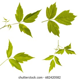 Maple branches with green leaves. Isolated on white background. Set