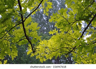 Maple Branches with Their Leaves